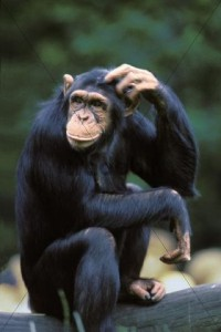chimp head scratch hmmm