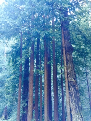 big sur red woods